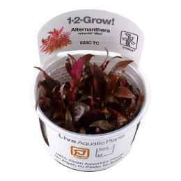 Alternanthera reineckii 'Mini'1-2-Grow!