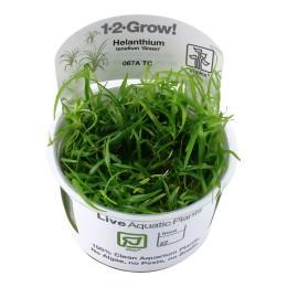 Helanthium Tenellum Green 1-2Grow!