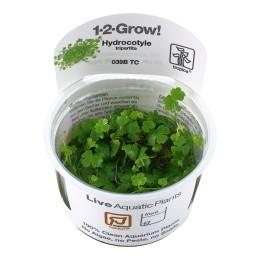 Hydrocotyle tripartita 1-2-Grow!