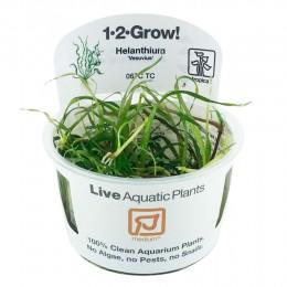 Helanthium vesuvius 1-2Grow!