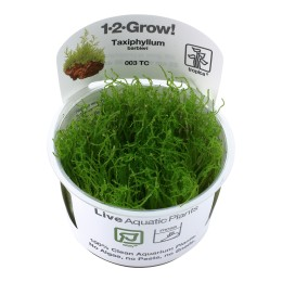 Taxiphyllum barbieri 1-2-Grow!