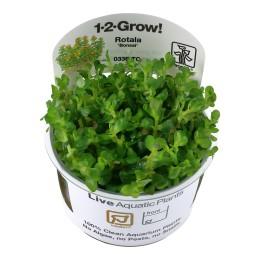 Rotala indica 'Bonsai' 1-2-Grow!