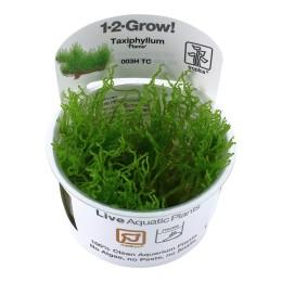 Taxiphyllum 'Flame' 1-2-Grow!