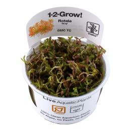 Rotala rotundifolia 'H'ra' 1-2-Grow!