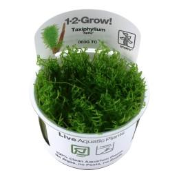 Taxiphyllum 'Spiky' 1-2-Grow!