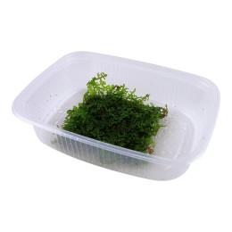 Riccardia chamedryfolia - Envase porción