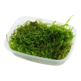 "Taxiphyllum barbieri ""Java moss"" - Envase porción"