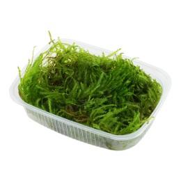 Taxiphyllum 'Spiky' - Envase porción