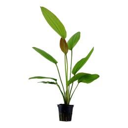 Echinodorus 'Rosé' en maceta