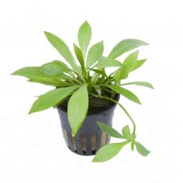 Helanthium bolivianum 'Quadricostatus' en maceta