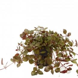 Ludwigia palustris en maceta