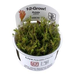Rotala wallichii 1-2-Grow!