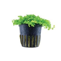 Micanthemum tweediei 'Monte Carlo' en Maceta