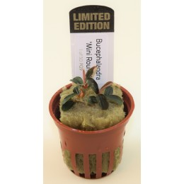 Bucephalandra 'Kedagang mini round' Limited Edition